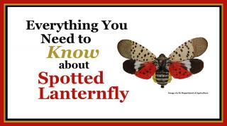 spotted lanternfly image
